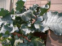 broccori_big.jpg