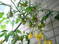 tomato_02.jpg